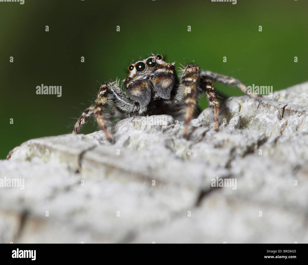 A Fencepost Spider looking at the camera showing 2 pairs of eyes - Stock Image