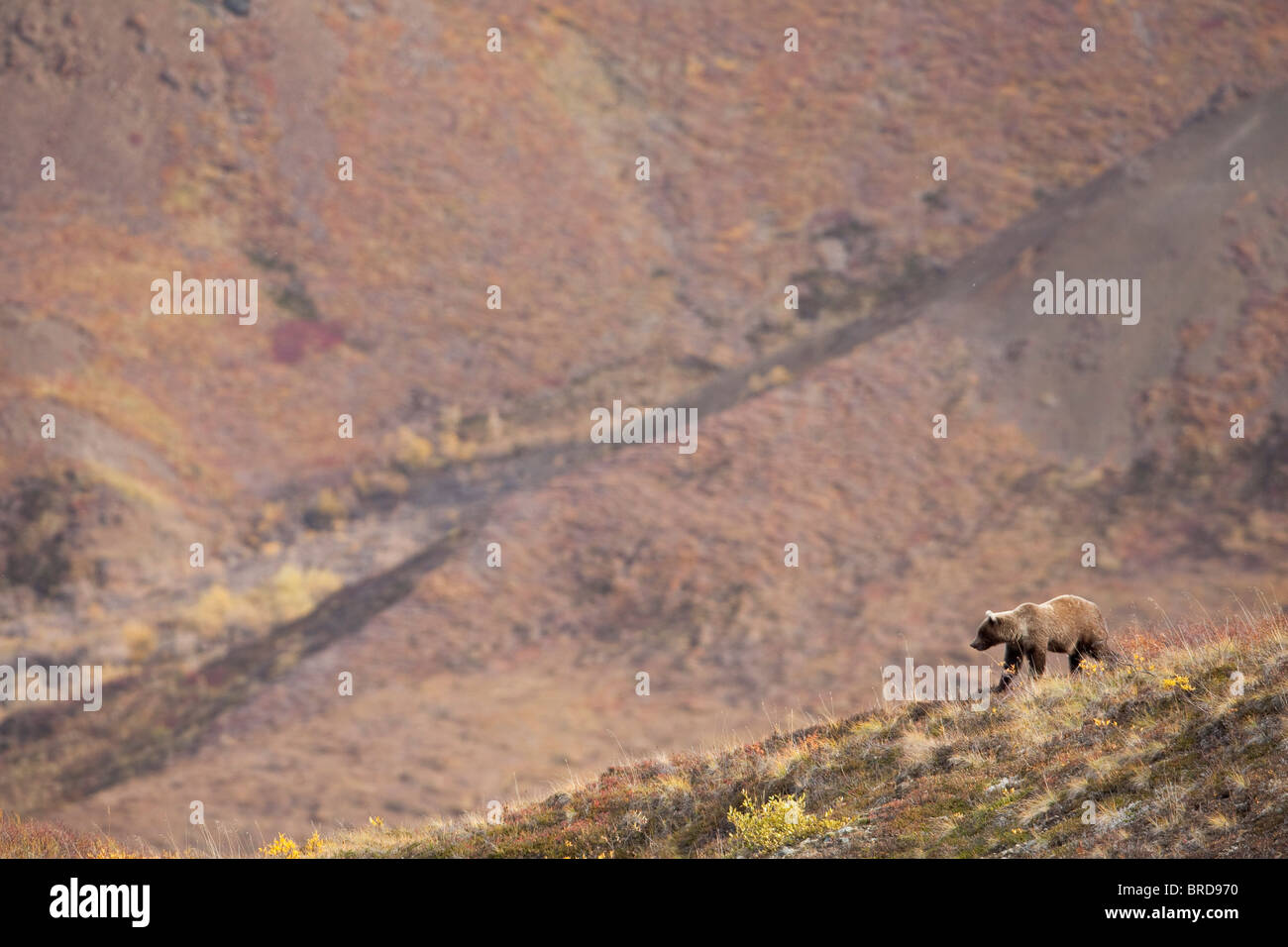 Grizzly Bear walking on a  ridge among fall colors on tundra, Denali National Park, Interior Alaska - Stock Image