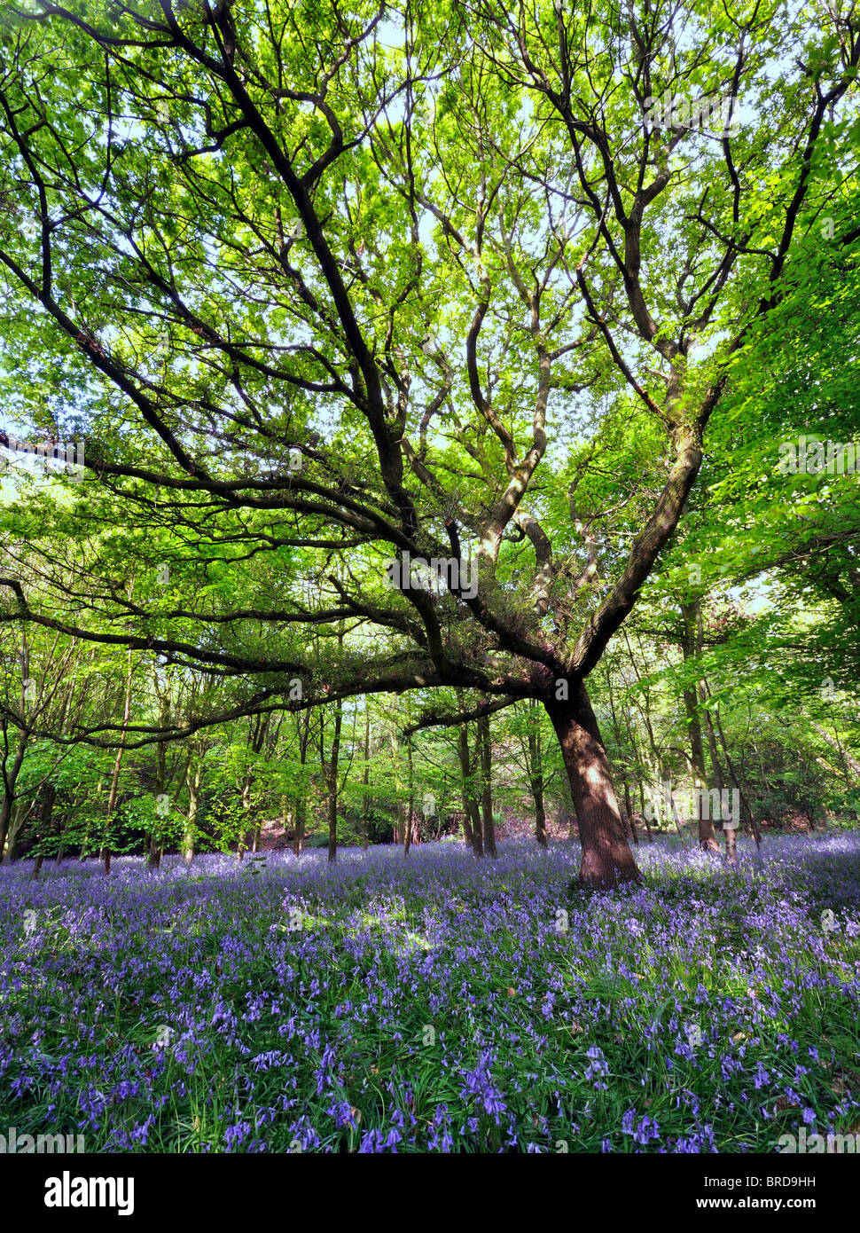 large singled out tree central in a wood carpeted with bluebell flowers - Stock Image