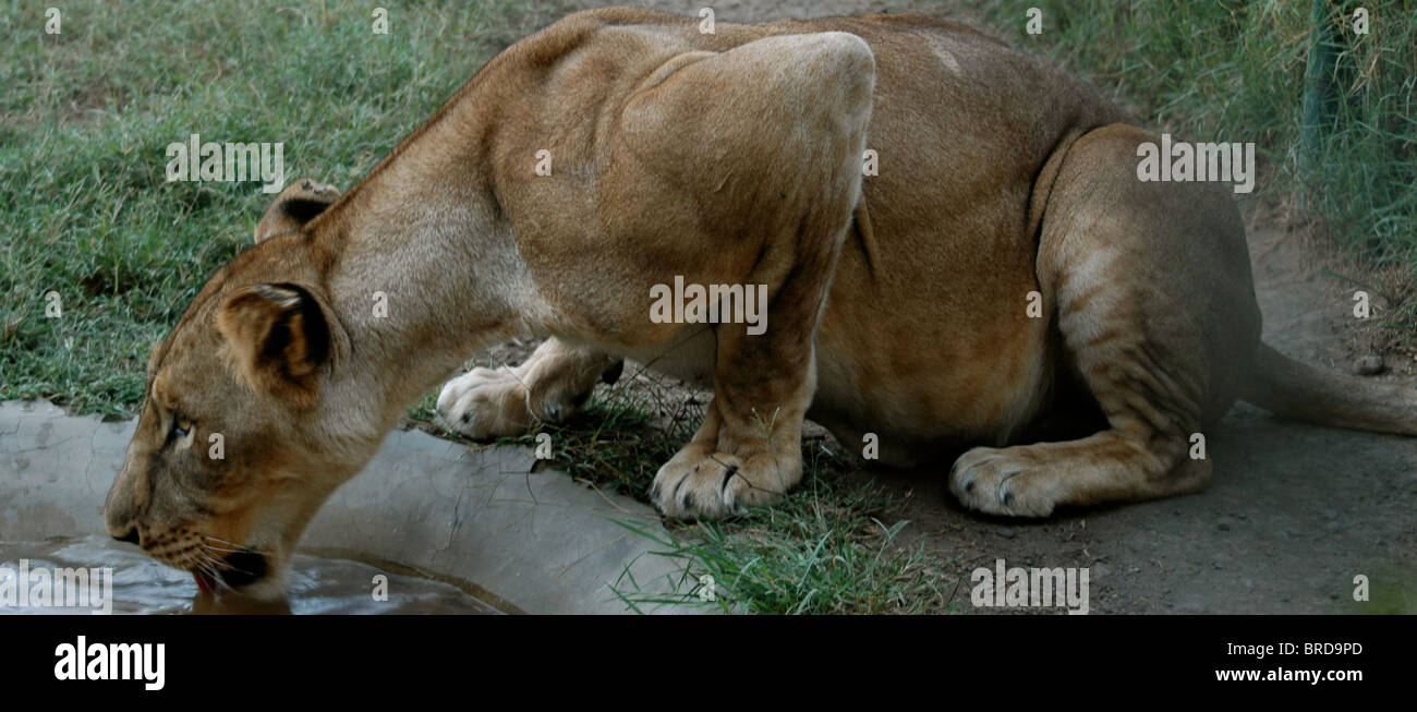 A watchful lioness taking a sip of water - Stock Image