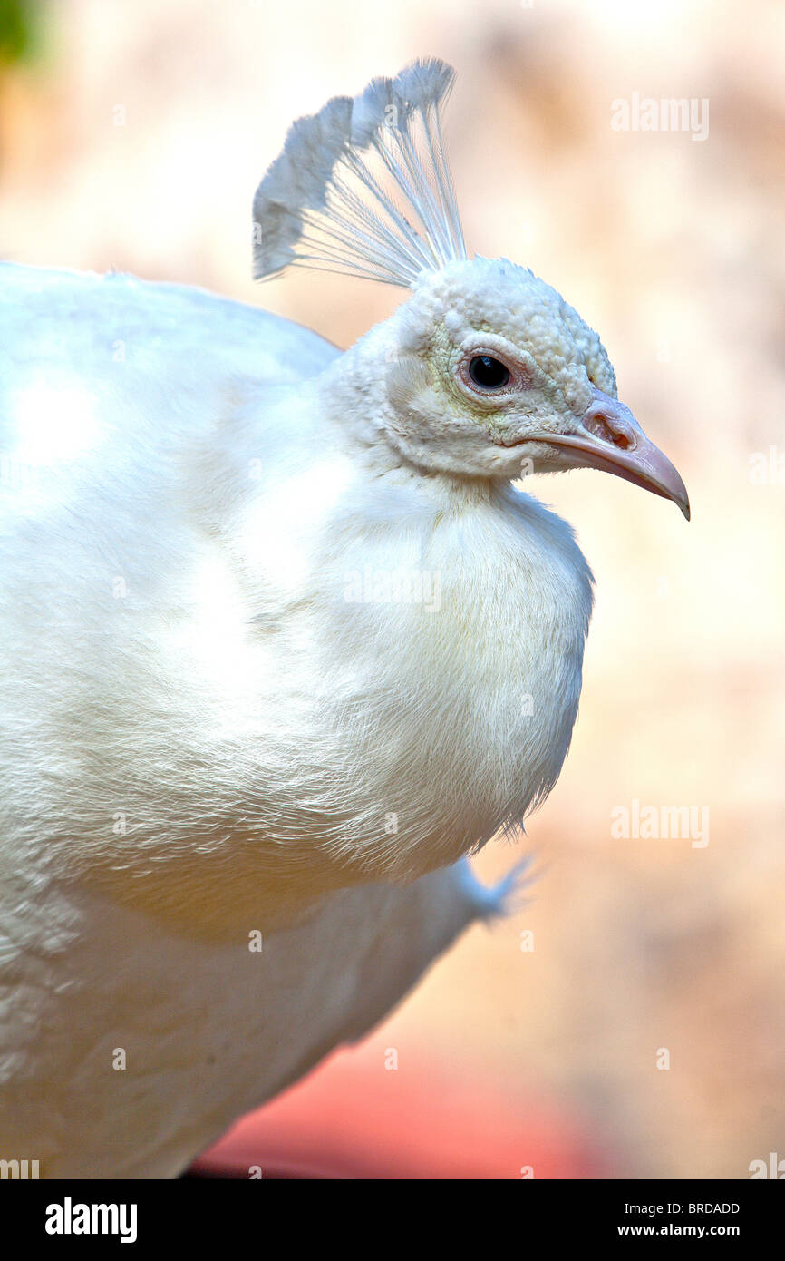 side view of a white peacock - Stock Image