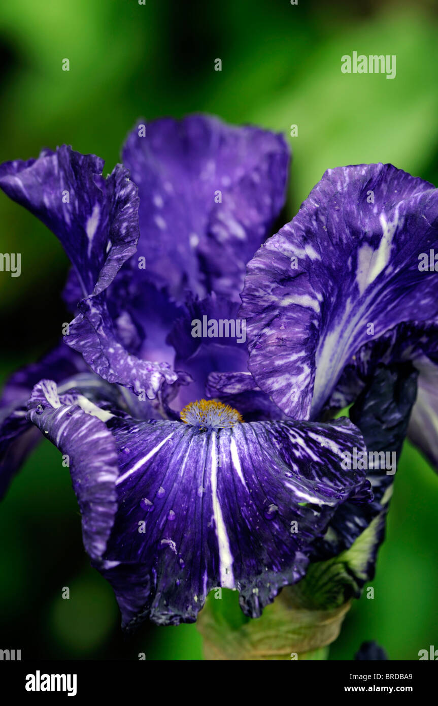 Flower navy stock photos flower navy stock images alamy deep blue navy bearded iris close up detail flower bloom blossom stock image izmirmasajfo