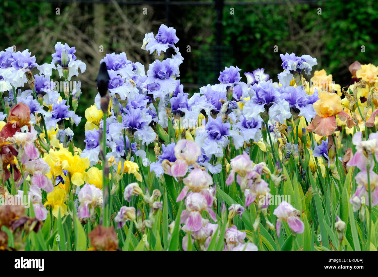 Tall Bearded Iris Irises Flowerbed Flowers Bloom Blossom Multiple