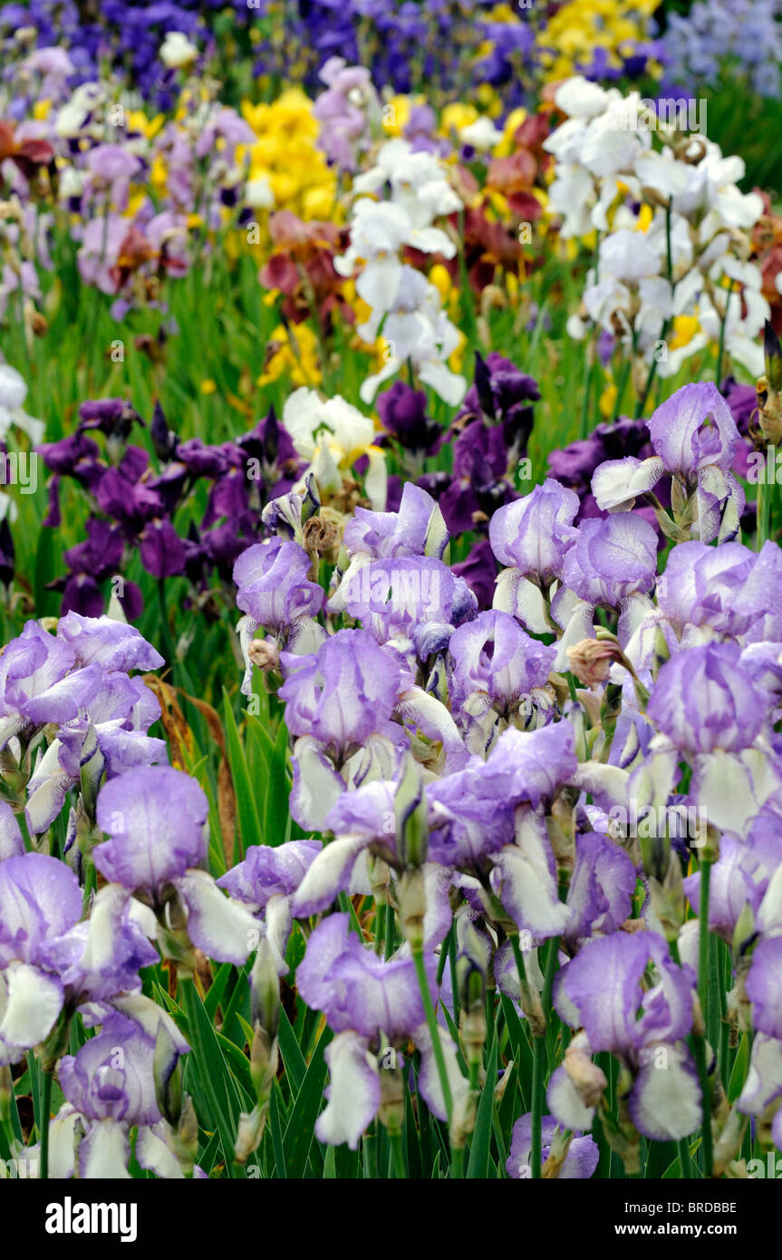 Bearded Irises Stock Photos  Bearded Irises Stock Images -7630