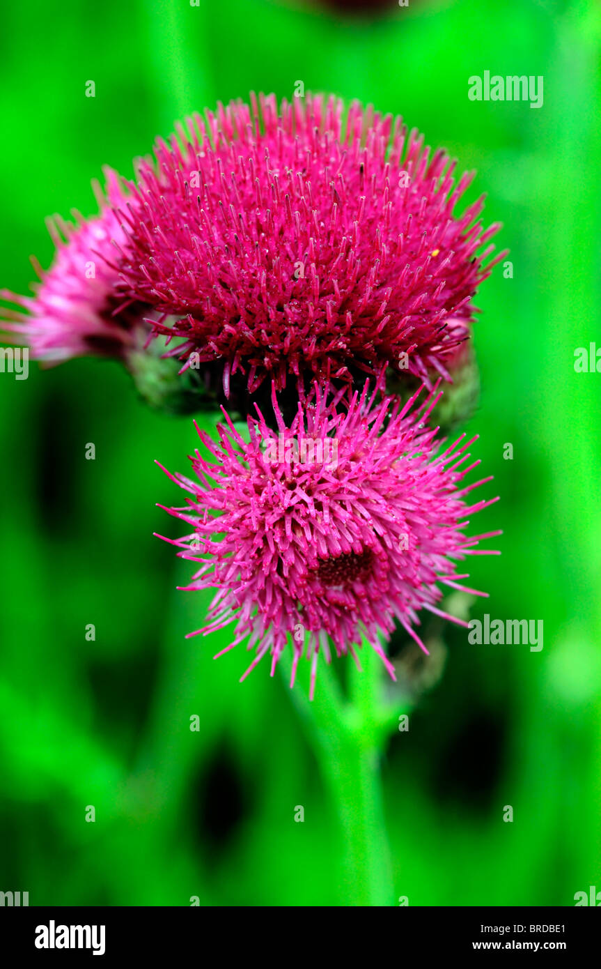 Cirsium rivulare atropurpureum Brook thistle ornamental deep crimson color colour clower bloom blooming perennial - Stock Image