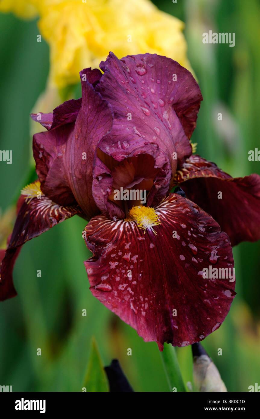 Purple German Iris Bearded Iris Stock Photos & Purple German Iris ...