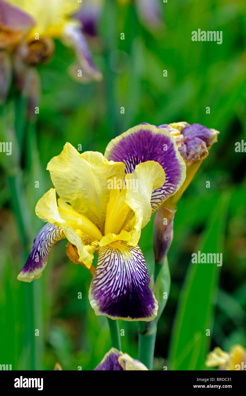 iris nibelungen Bearded Iris germanica German Iris Rhizomatous pale ...