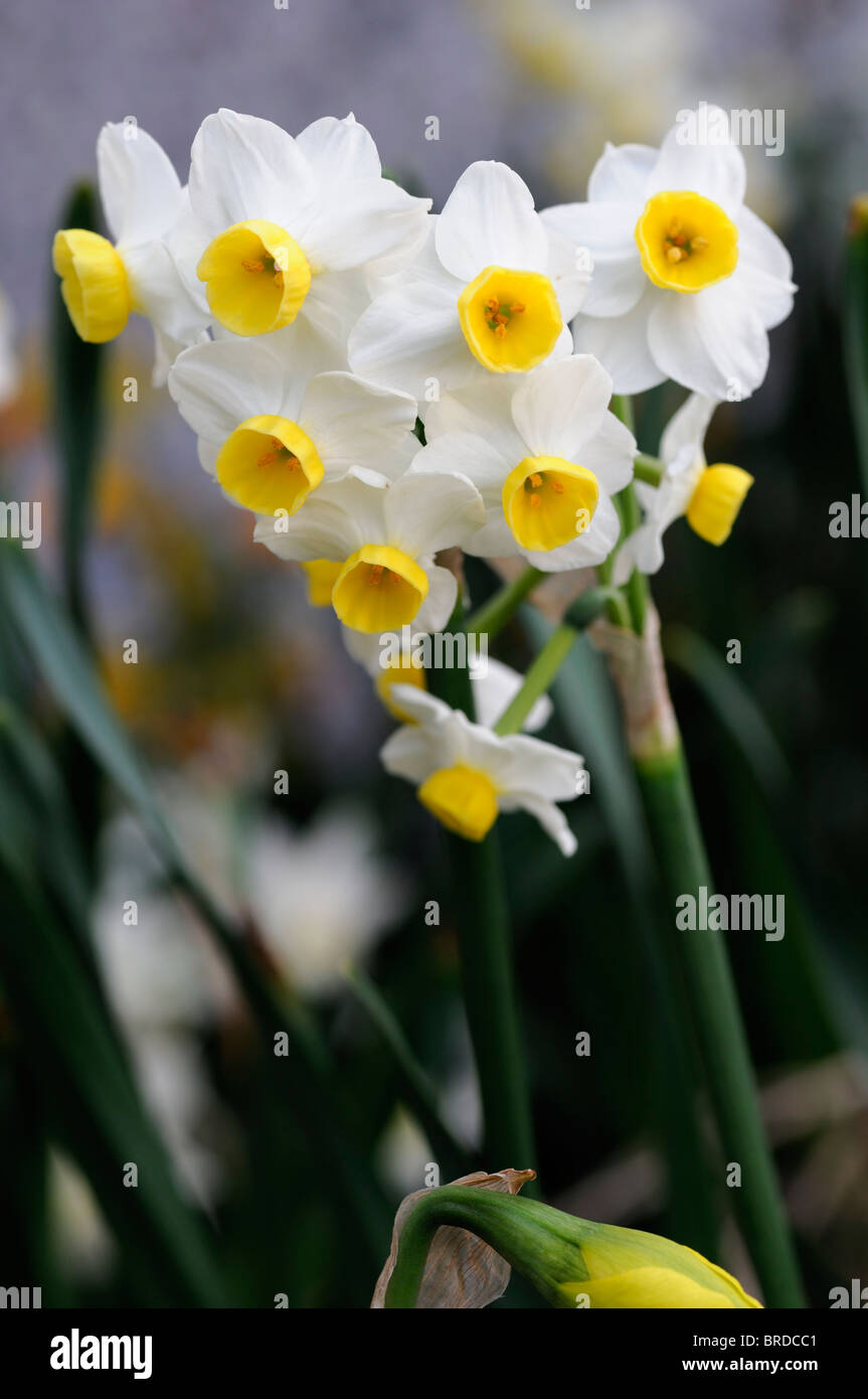 Narcissus Minnow Daffodil White Flower Perianth With Yellow Cup