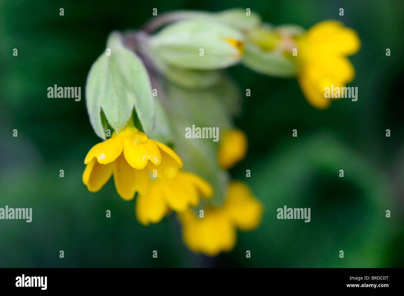 Primula veris cowslip yellow common variety variant species sp close up Stock Photo