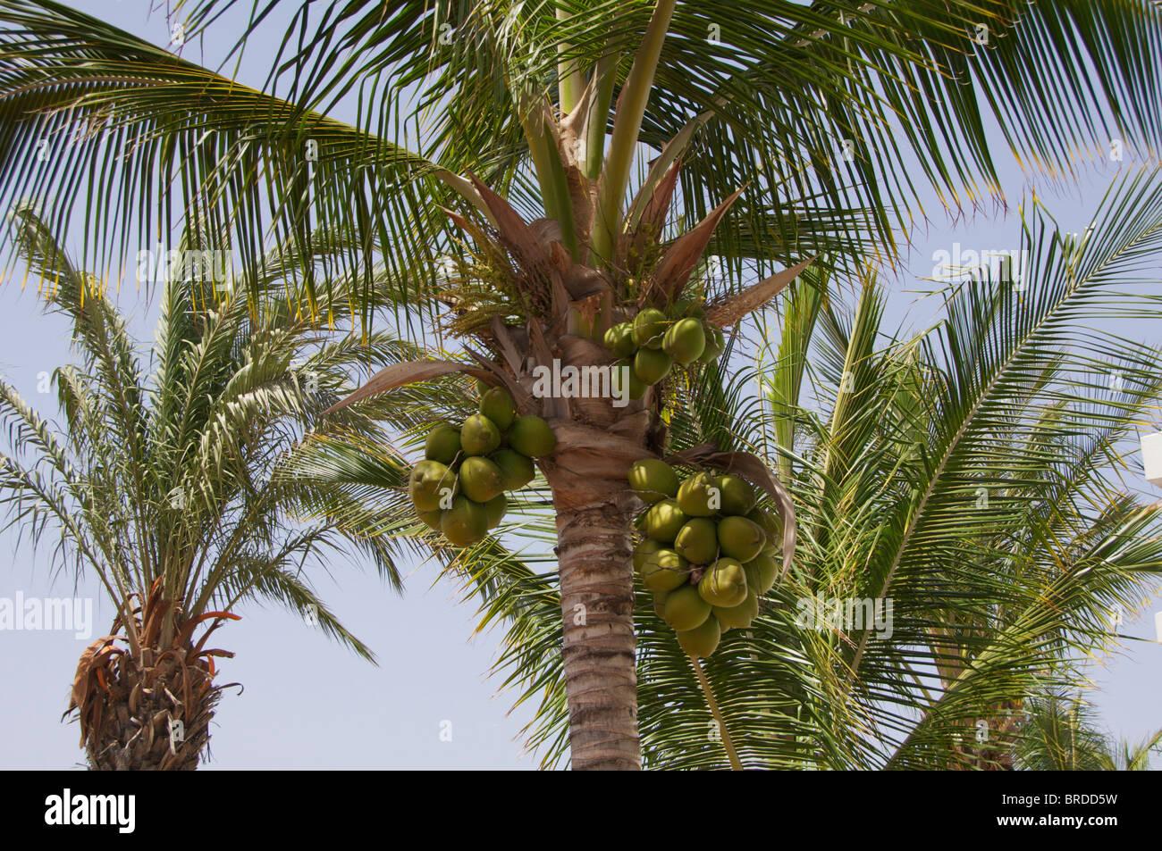 coconuts-growing-in-puerto-del-carmen-la