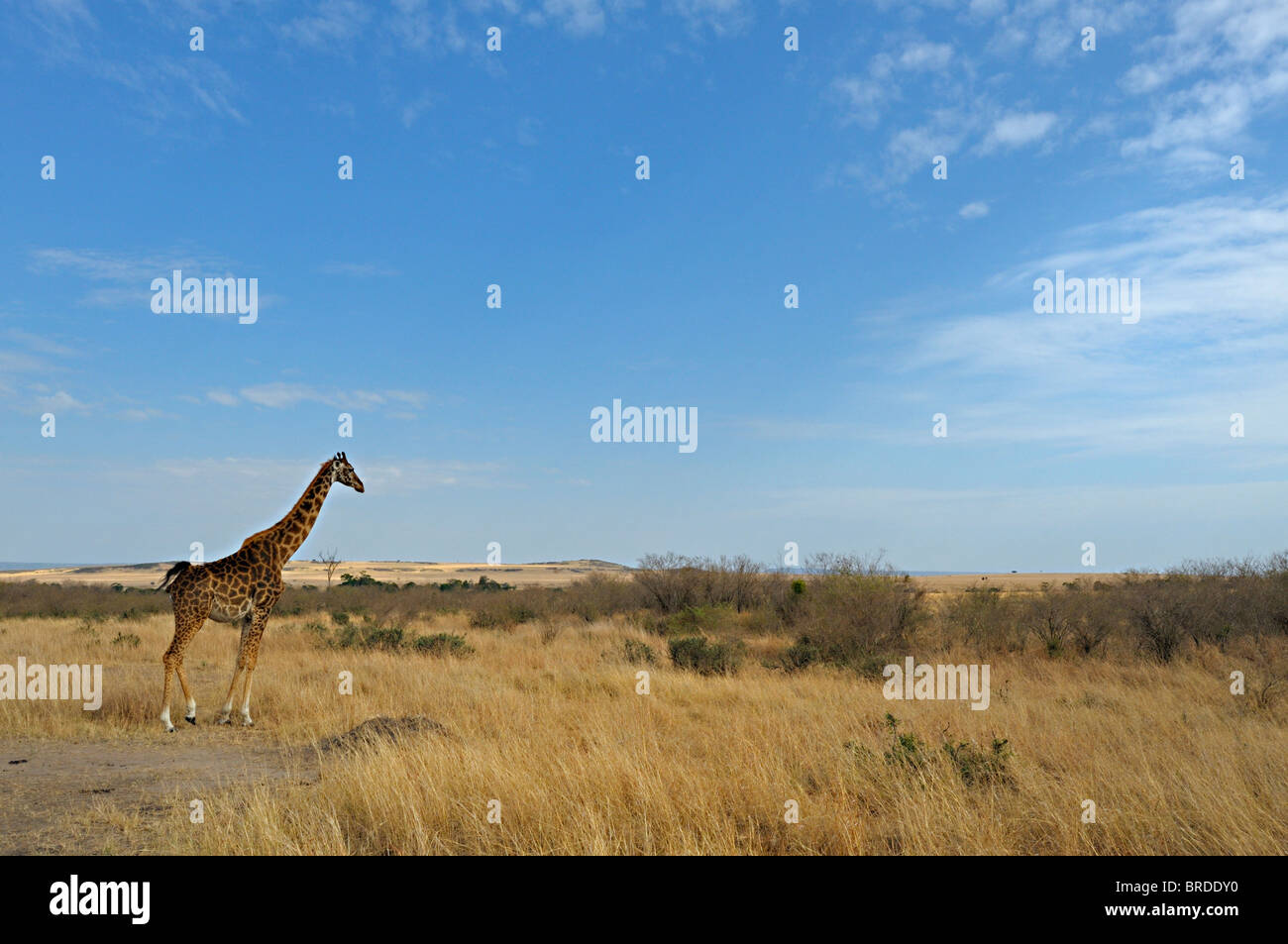 Masai giraffe in its habitat in Masai Mara, Kenya, Africa - Stock Image