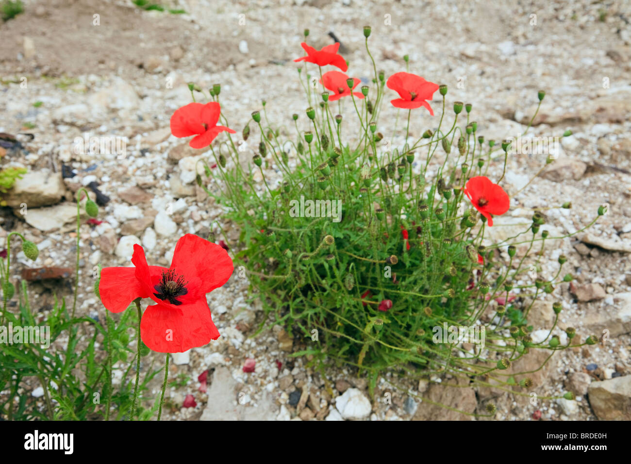 UK Common red Poppies (Papaver rhoeas) growing on disturbed stony ground - Stock Image