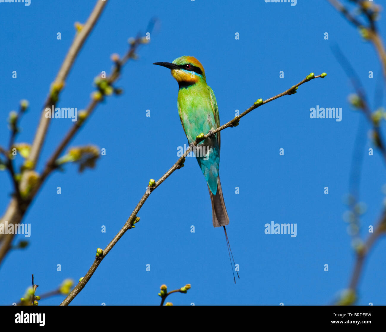 Rainbow Bee-eater perched on branch - Stock Image