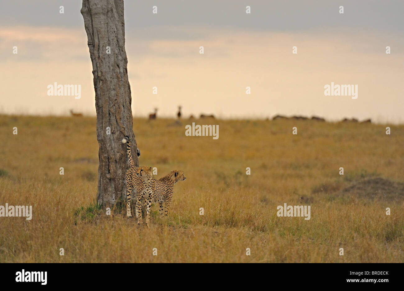 Two Cheetahs marking a tree in the grasslands of Masai Mara in Kenya, Africa - Stock Image