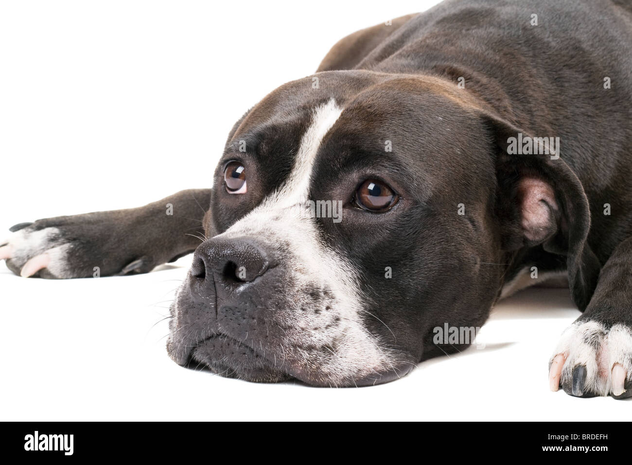 Portrait of the american staffordshire terrier. Isolated on white - Stock Image