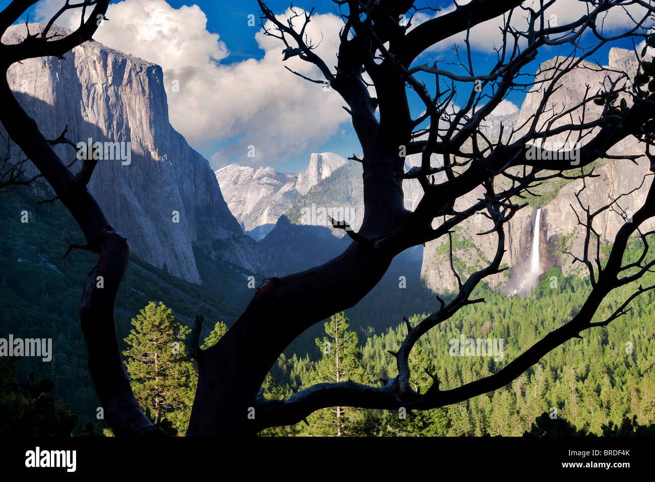 Yosemite Valley view from above Tunnel View Overlook as seen through manzanita bush.  Yosemite National Park, California - Stock Image