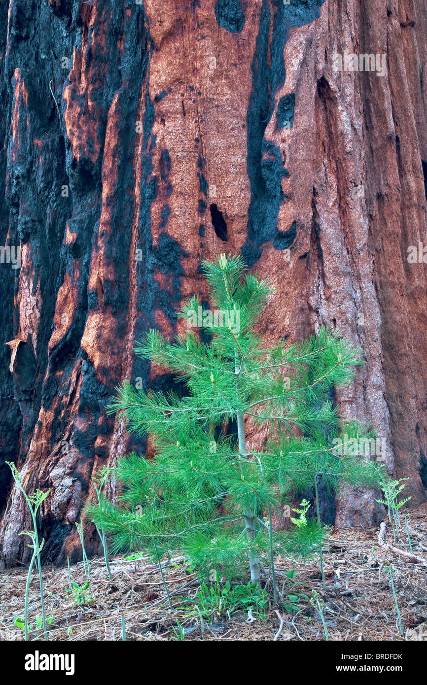 Small fir tree next to Sequoia Redwood tree. Sequoia National Park, California - Stock Image