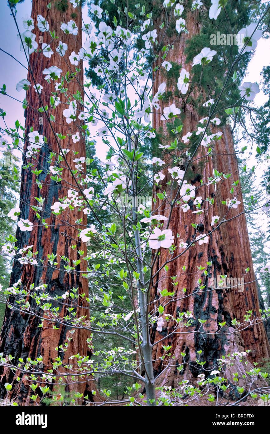 Pacific Dogwood (Cornus nuttallii) and Giant Sequoia (Sequoiadendron giganteum). Sequoia National Park, California Stock Photo