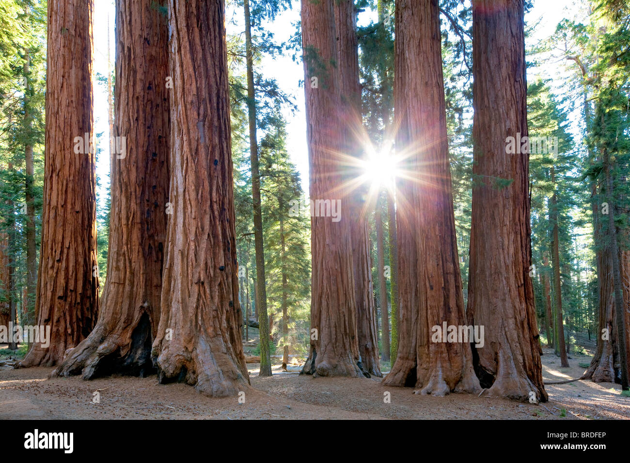 Sunburst through Giant Sequoia (Sequoiadendron giganteum) Sequoia National Park, California - Stock Image