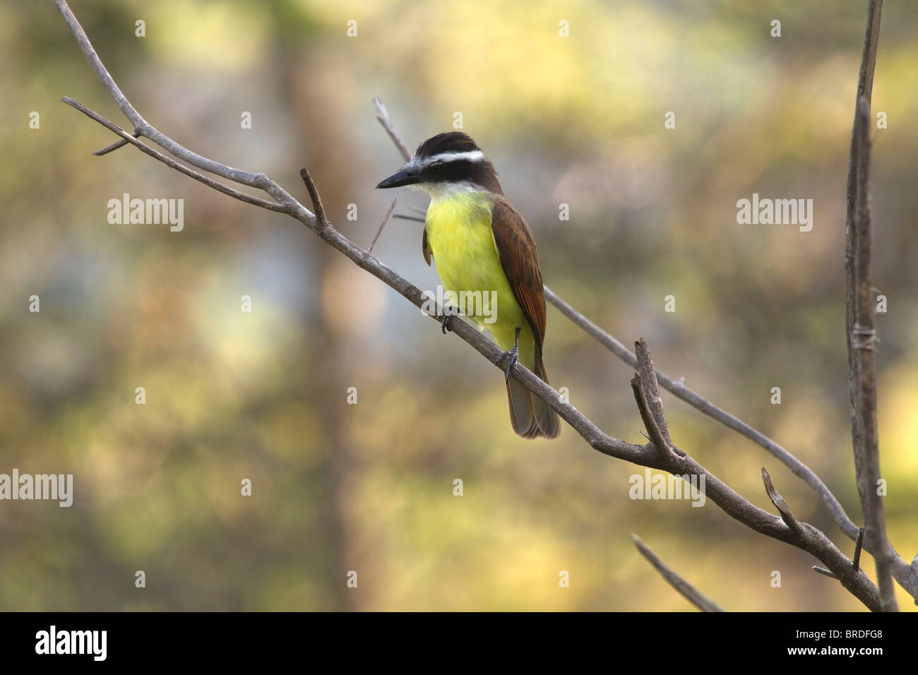 Great Kiskadee (Pitangus sulphuratus trinitatis) perched on branch at Asa Wright Nature Centre, Trinidad, West Indies. - Stock Image