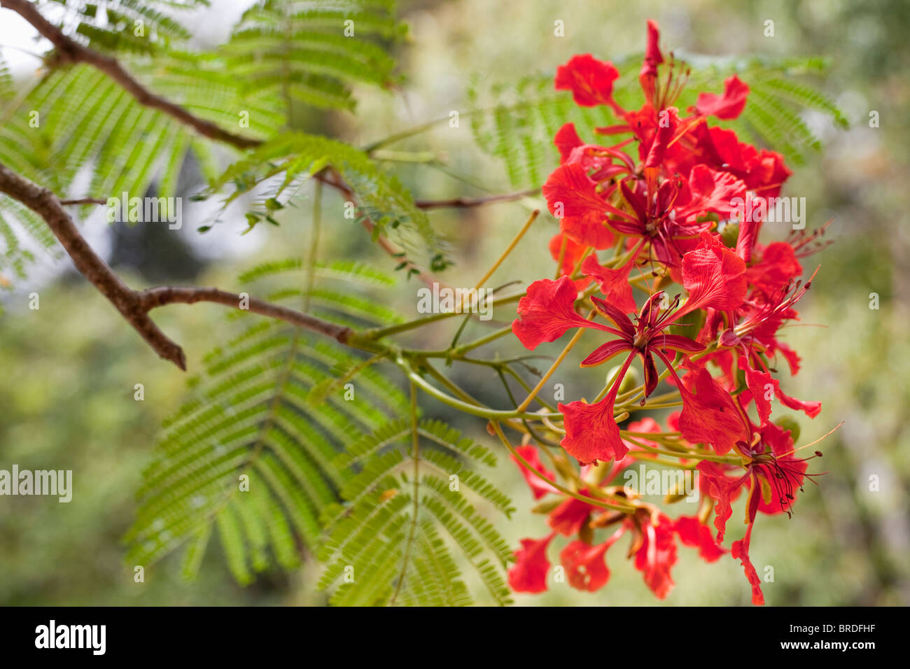 Closeup of a Royal Poinciana tree in bloom on Blanchisseuse Road, Trinidad, Caribbean, West Indies. - Stock Image