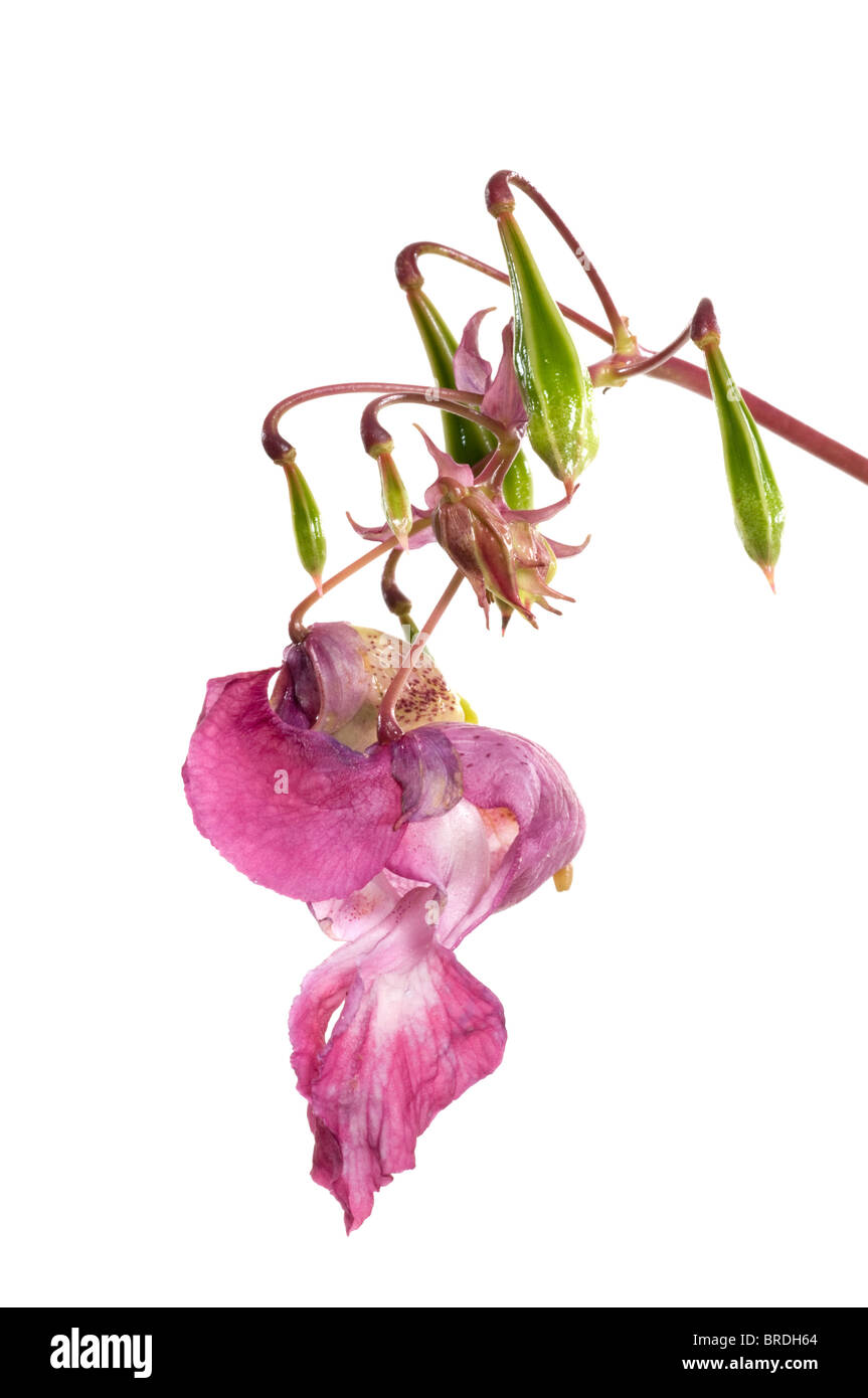 himalayam balsam pest plant cut.-out Stock Photo