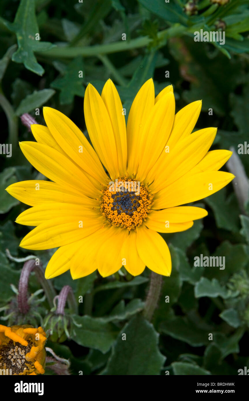 Single golden yellow flower of Arctotis 'Hello', a summer bedding plant - Stock Image