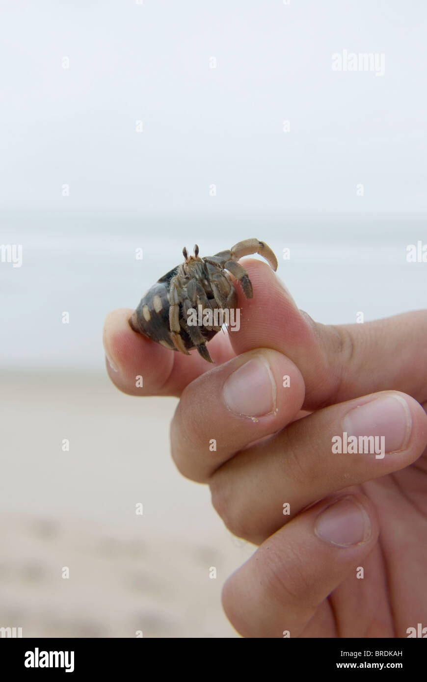 A hermit crab being held by a man - Stock Image