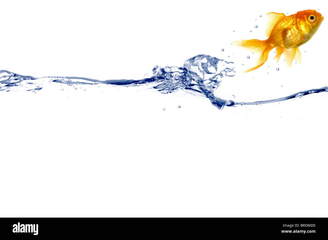 Goldfish is jumping out of the water. Taken on a white background. - Stock Image