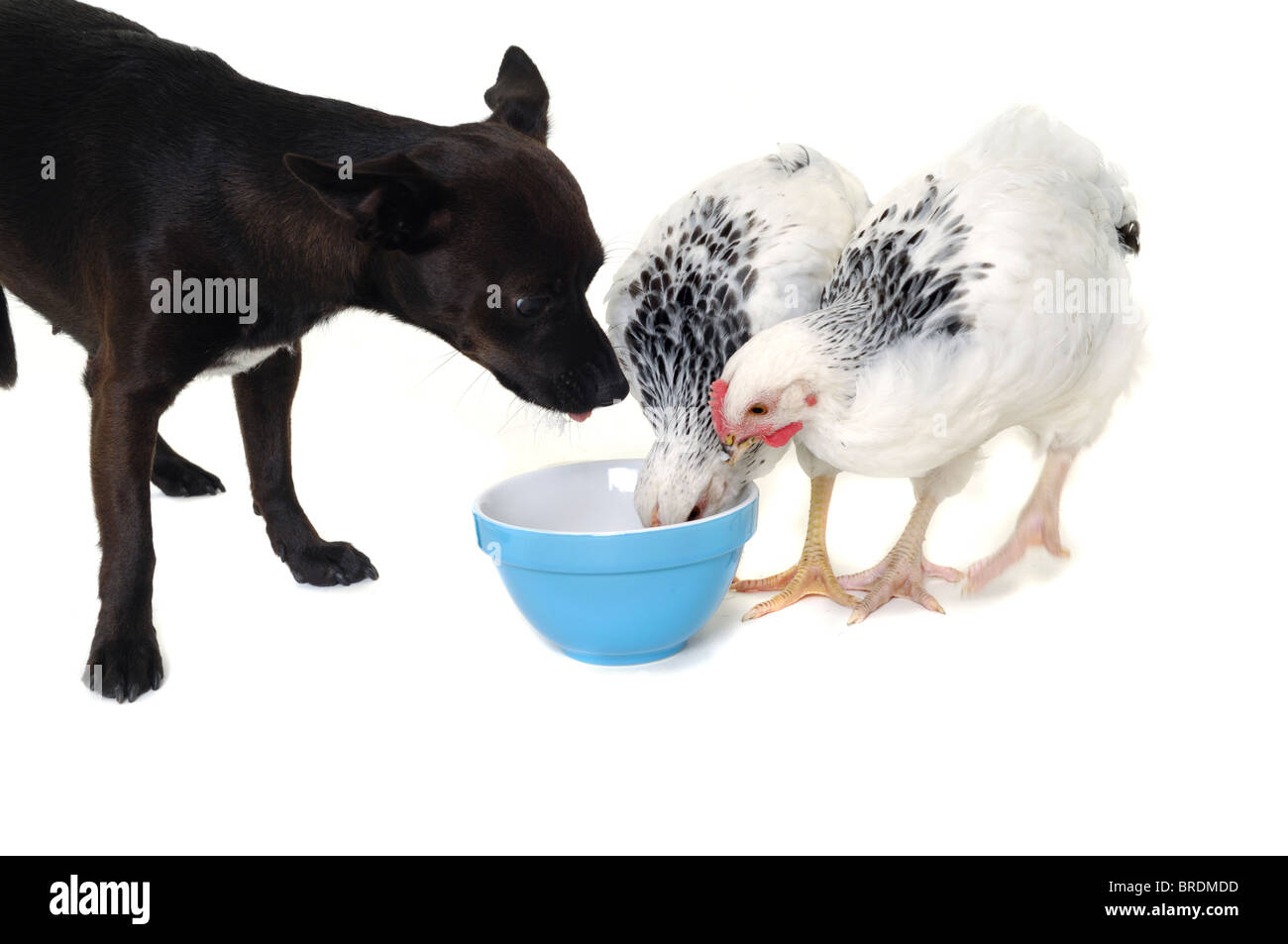 A puppy and two chickens are eating food. Real shot, not manipulation. The dog is a mix of a chihuahua and a miniature - Stock Image