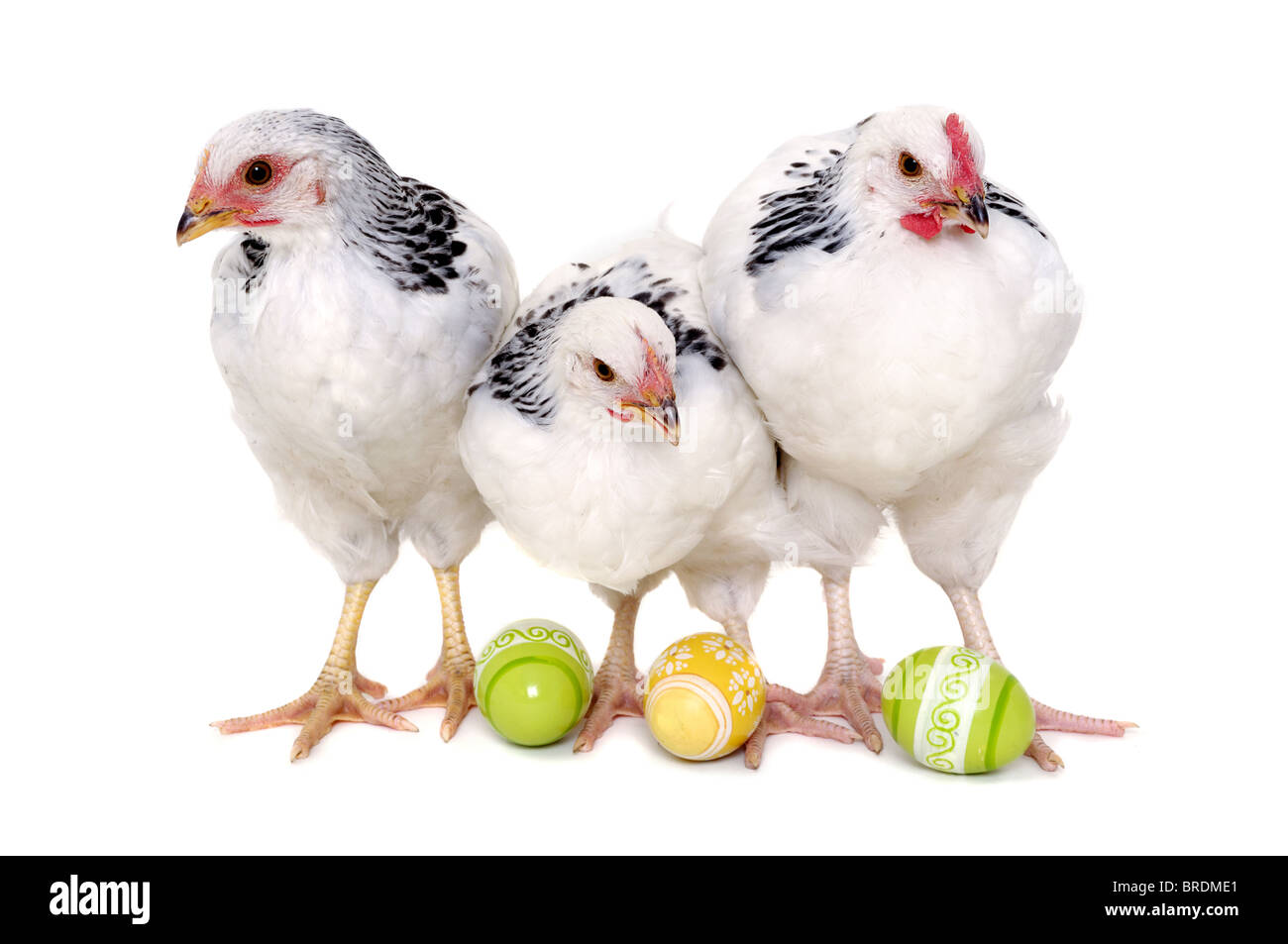 Chickens with easter eggs. Isolated on a white background. - Stock Image