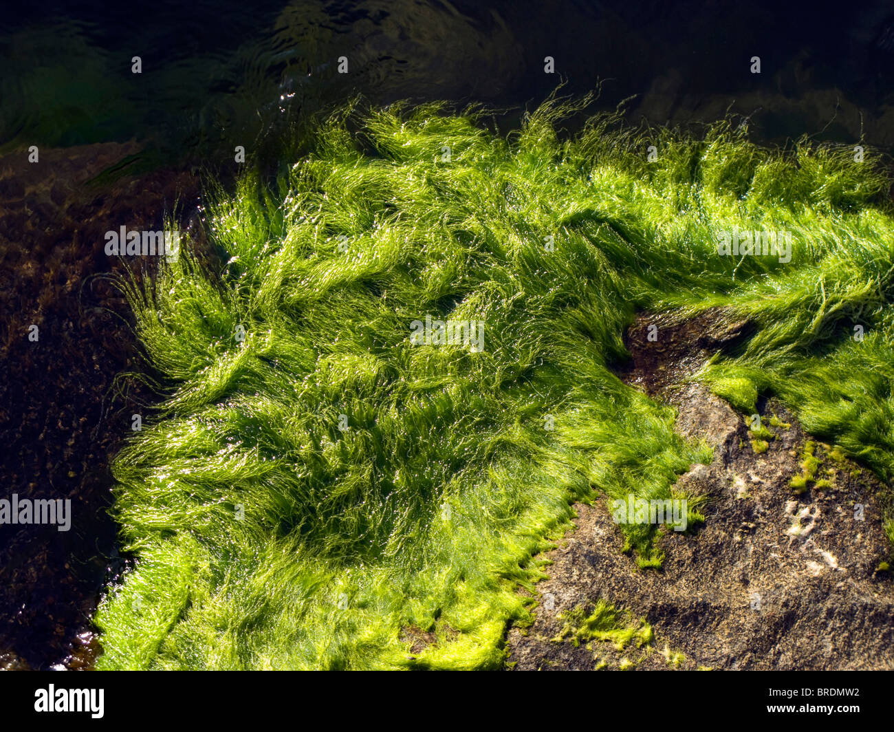 Seagrass on a cliff in the Baltic sea - Stock Image