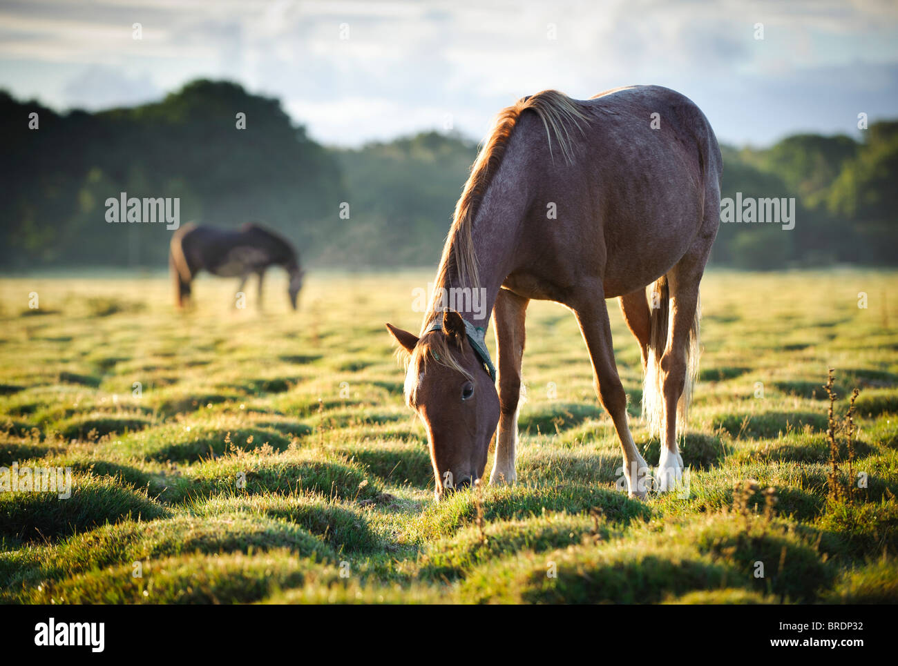 Horses at Sunrise, Balmer Lawn near Brockenhurst, New Forest, Hampshire, England, UK - Stock Image