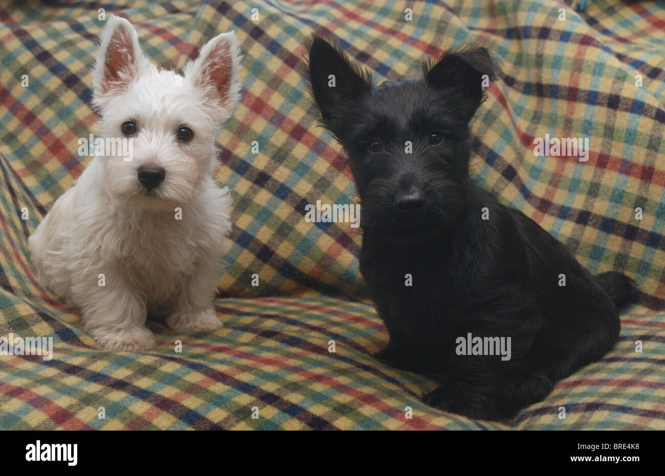 A Small White West Highland Terrier Westie Puppy Dog And A Small Stock Photo Alamy