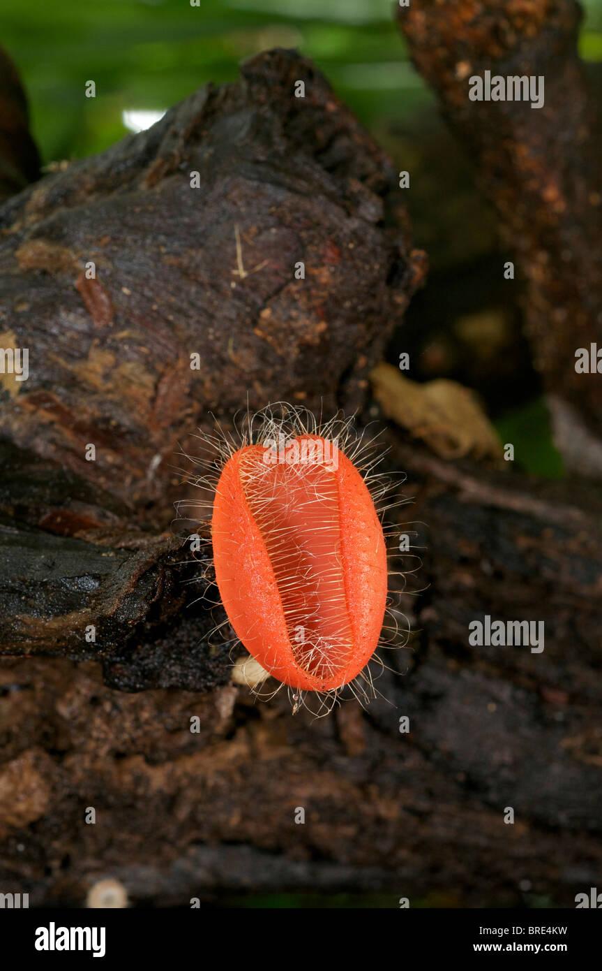 Red Cup fungi, Cookeina sulcipes, in Huai Kha Khaeng, Thailand - Stock Image