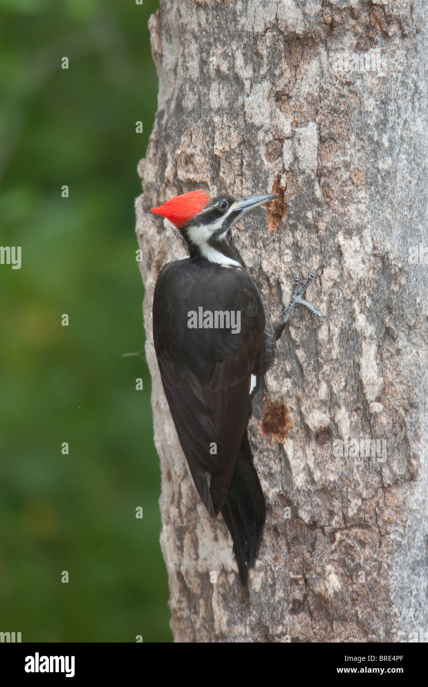 Pileated Woodpecker (Dryocupus pileatus) - Female drilling a hole in a tree trunk - Stock Image