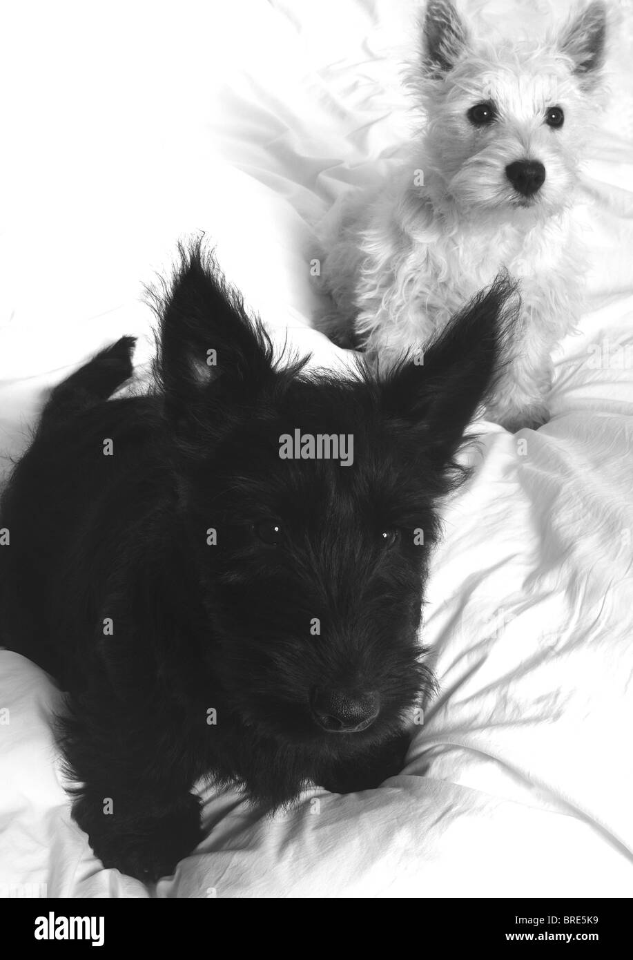 A White West Highland Terrier Westie Puppy Dog And A Black Stock Photo Alamy