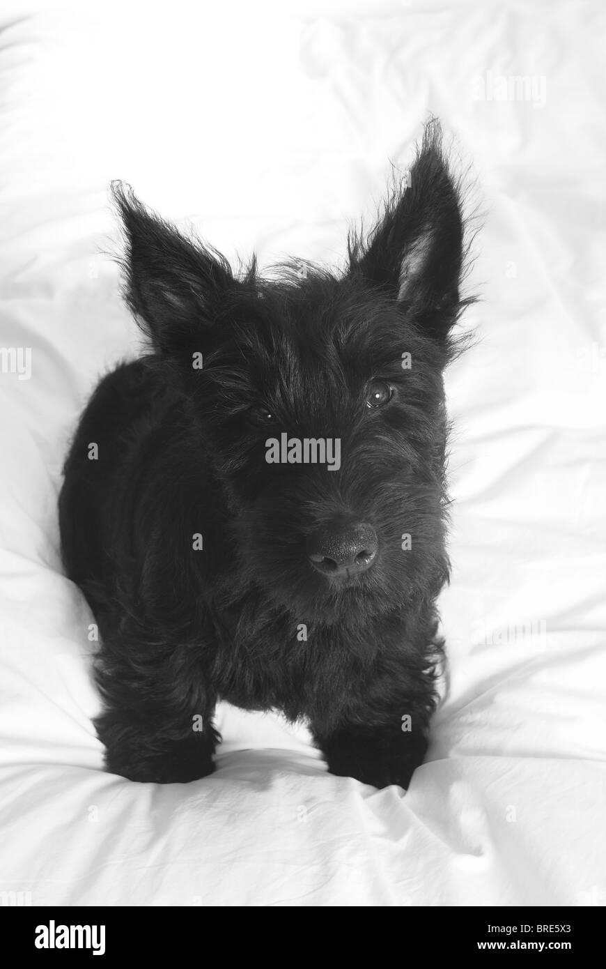 black scottie dog stock photos black scottie dog stock images alamy