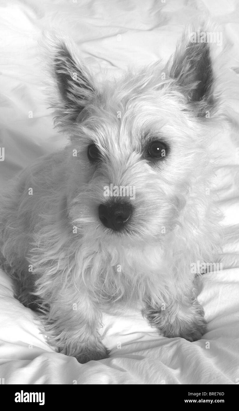 Close Up Of A White West Highland Terrier Westie Puppy Baxter Stock Photo Alamy