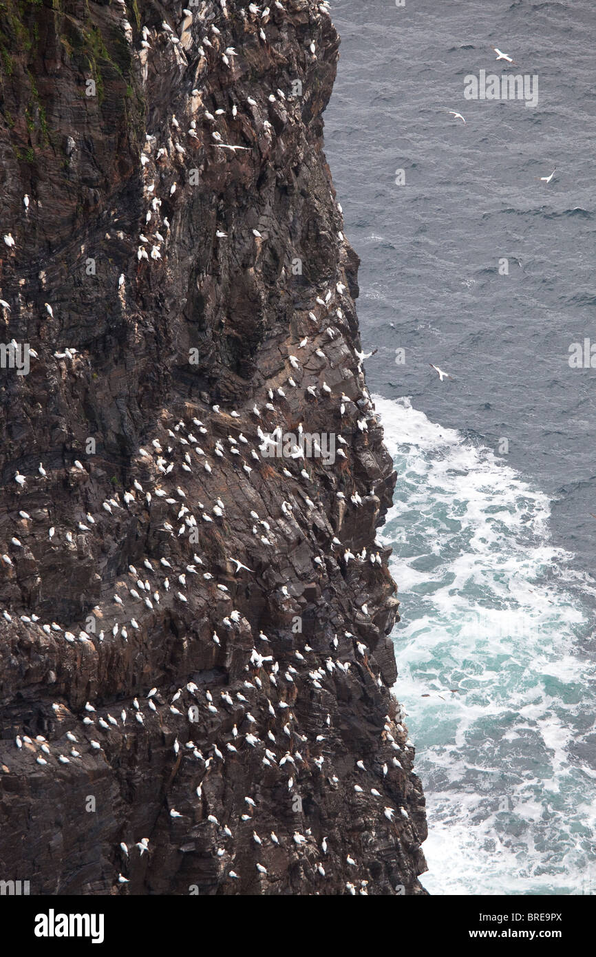 Northern Gannet, Morus bassanus, colony on the cliff Rundebranden at the island Runde, Atlantic west coast, Norway. - Stock Image