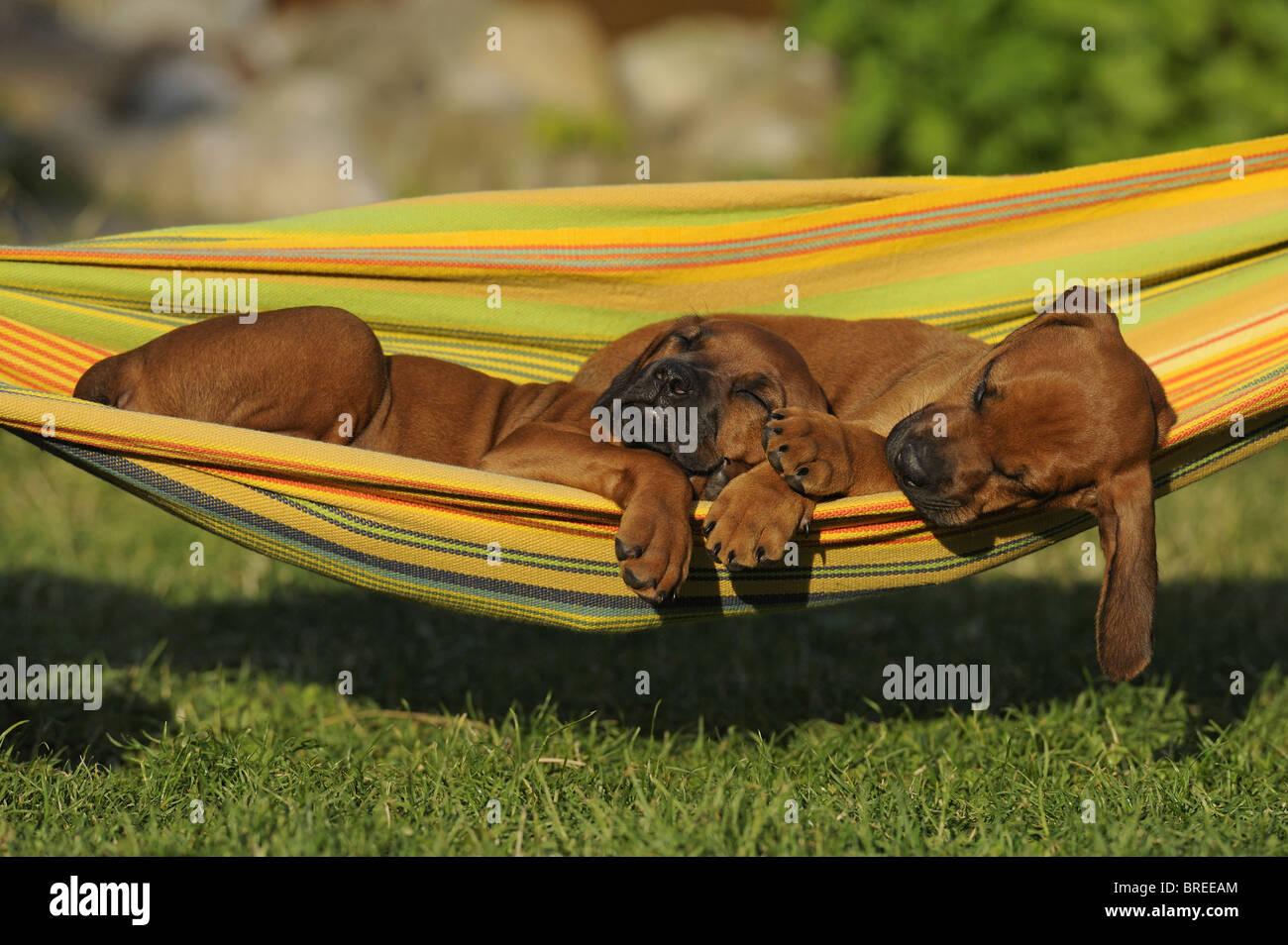 Rhodesian Ridgeback (Canis lupus familiaris). Two puppies sleeping in a hammock. - Stock Image