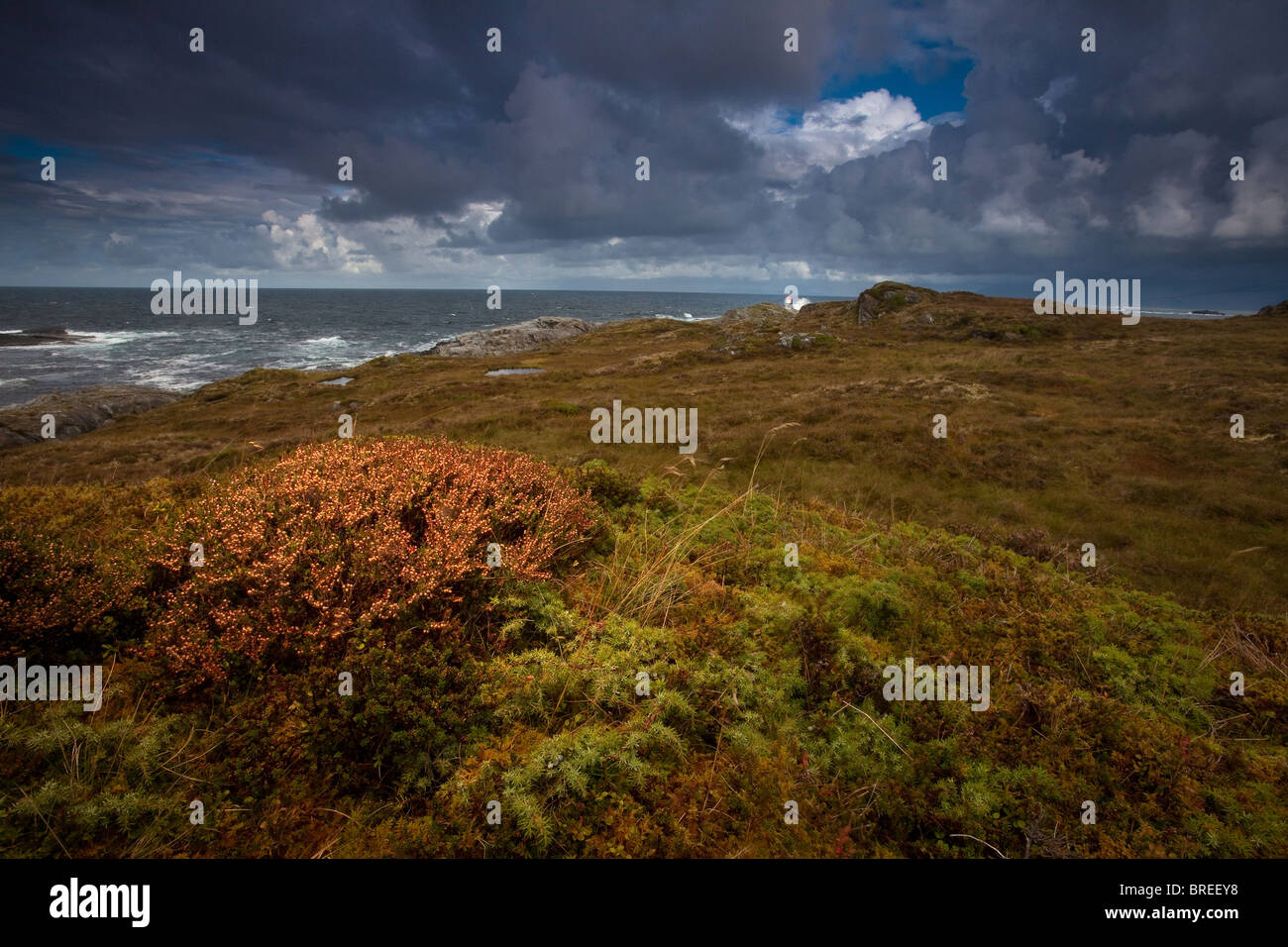 Heather and shrubs on the island Runde on the west coast of Norway. - Stock Image