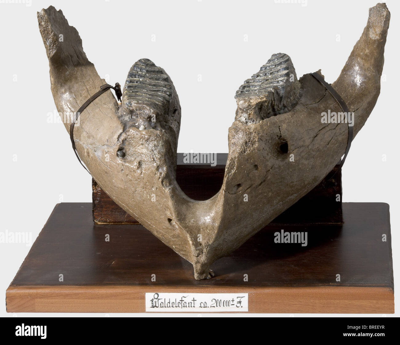A lower jaw of a Central European straight-tusked elephant, ca. 200,000 years old Sturdy lower jaw of a straight - Stock Image