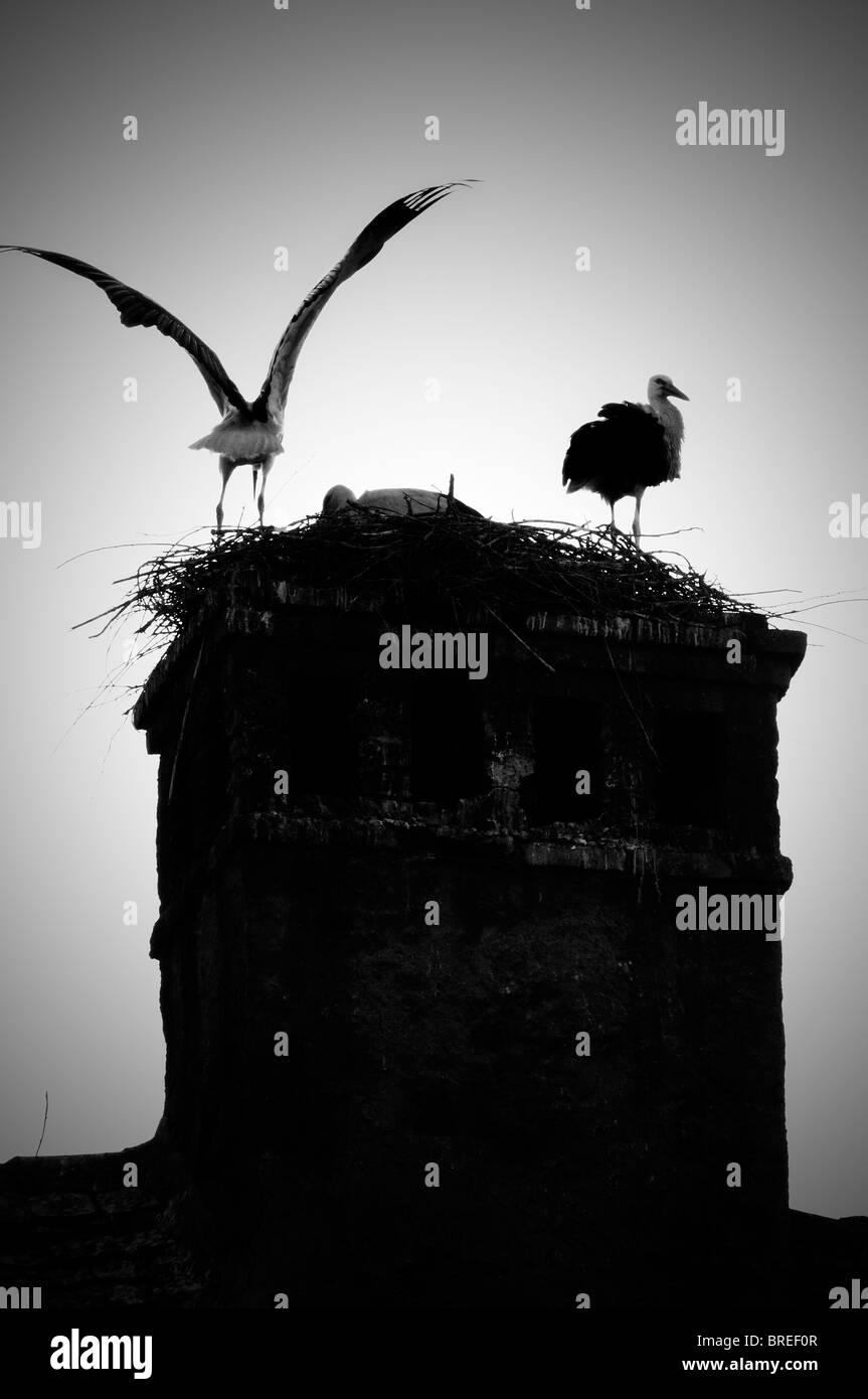 Romania, Transylvania Sibiu. Storks in nest on a roof - Stock Image