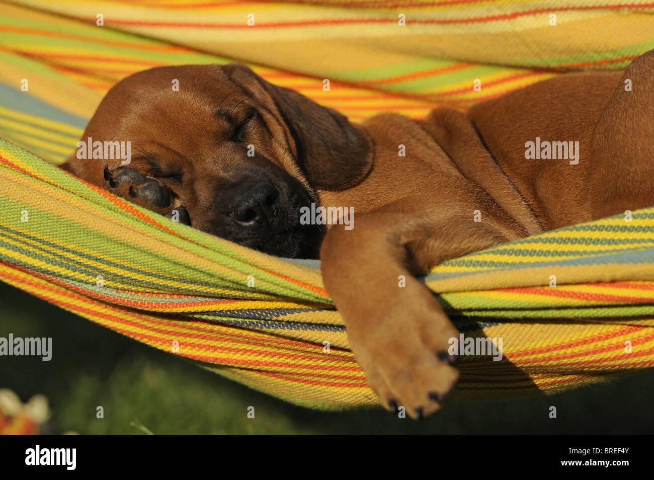 Rhodesian Ridgeback (Canis lupus familiaris). Puppy sleeping in a hammock. Stock Photo