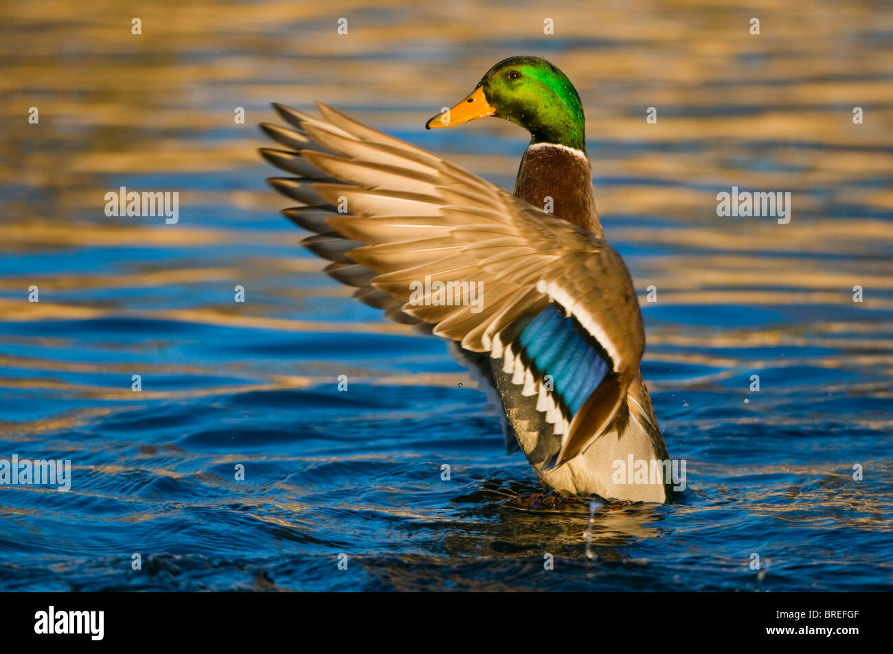 Mallard (Anas platyrhynchos), drake flapping its wings, Tiveden National Park, Sweden, Scandinavia, Europe - Stock Image