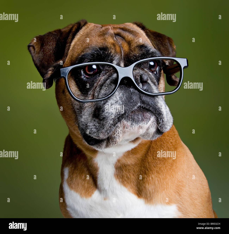 Intelligent boxer dog - Stock Image