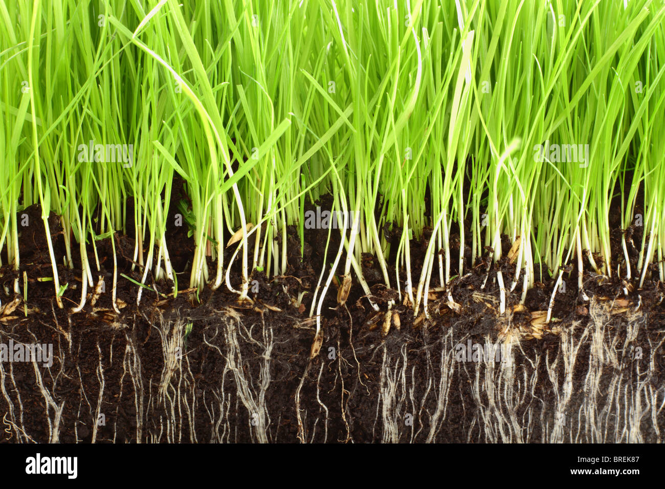 Fresh grass growing in compost with close up detail of the roots showing. Stock Photo