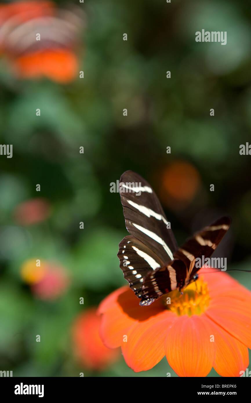 zebra butterfly resting on a zinnia flower, drinking nectar, Southwestern United States - Stock Image