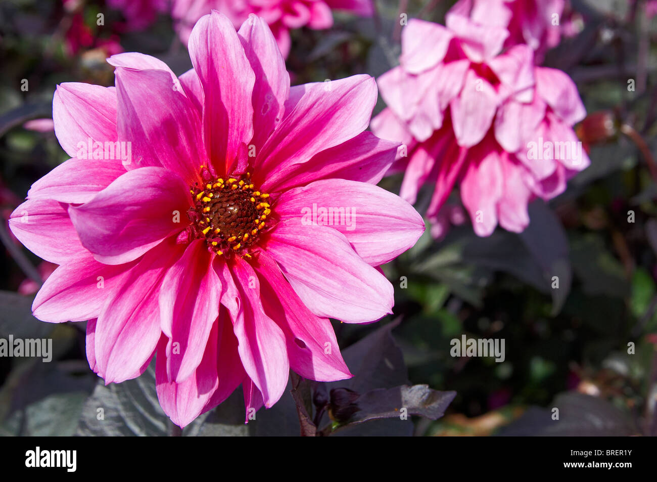 Pink dahlia blooms, variety 'Fascination' - Stock Image